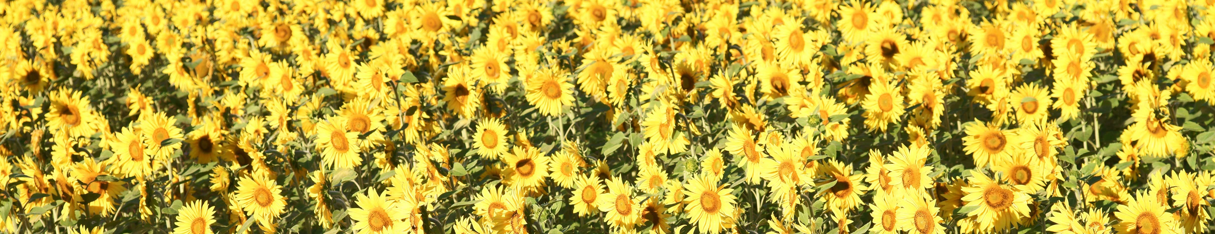 elite_alternatives_sunflower_4868x940